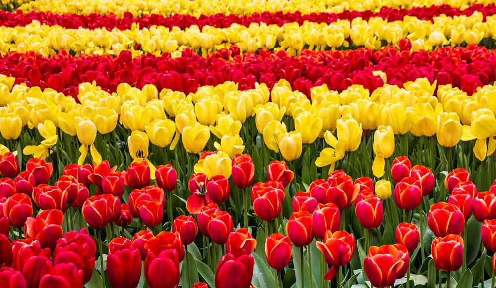 Tulip festival Kiev