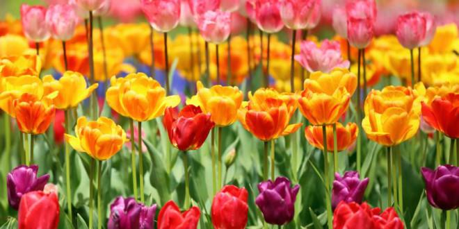 Tulip festival Kyiv