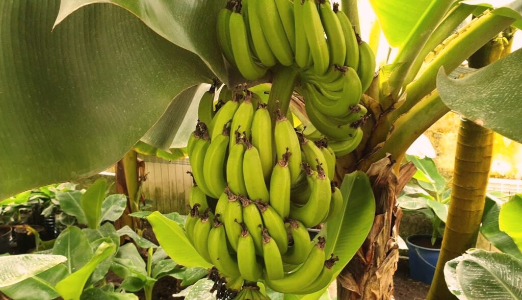 Banana farm near Kyiv